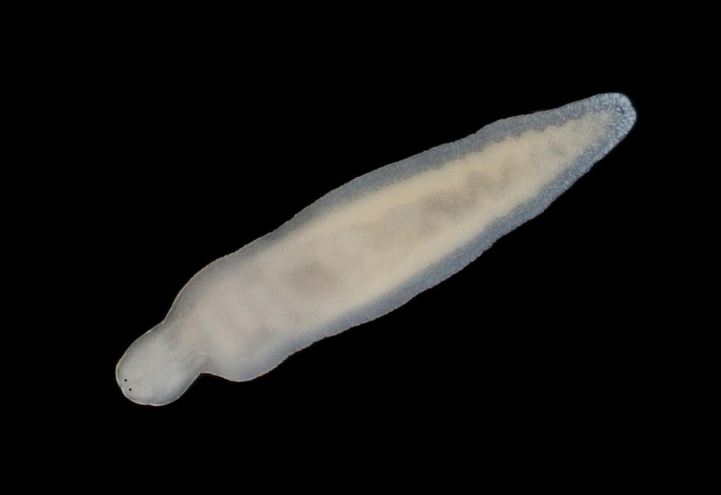 Amphiporus bioculatus