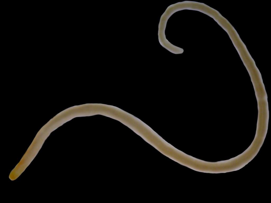 Cephalothrix linearis