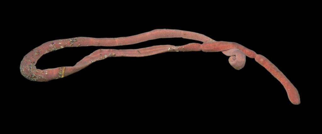 Cerebratulus lacteus