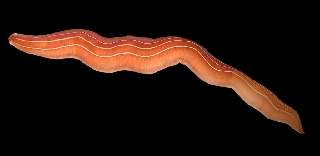Drepanogigas albolineatus