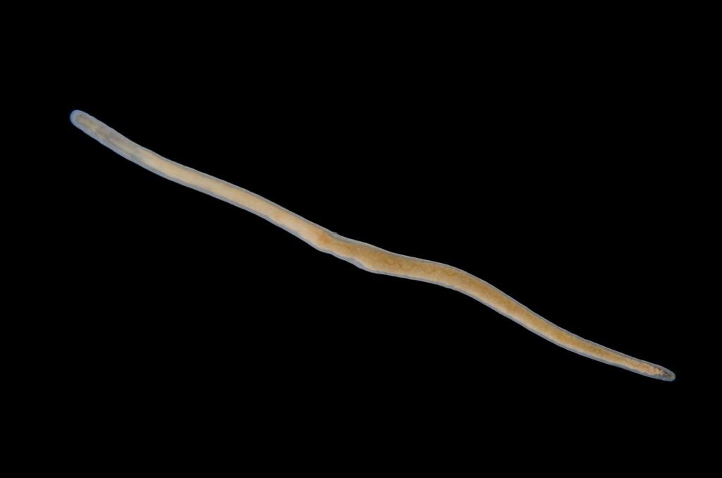 Nemertopsis flavida