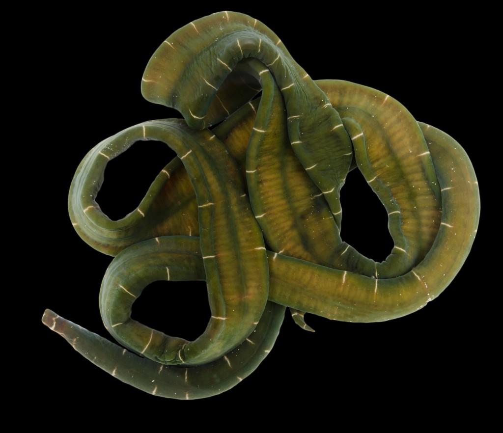 Notospermus geniculatus