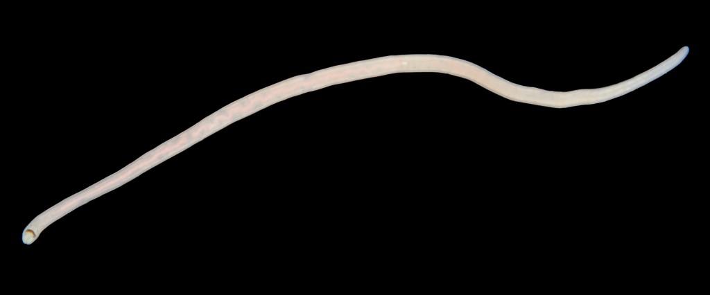 Tetrastemma coronatum