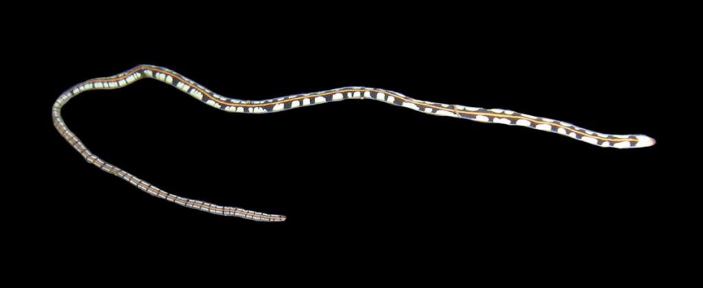 Lineus mcintoshii