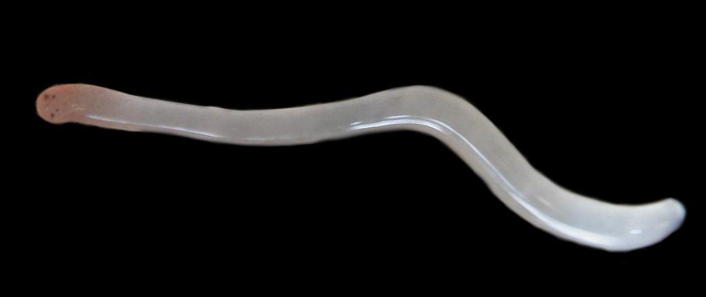 Leptonemertes chalicophora