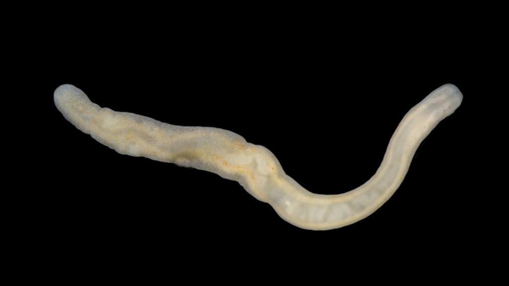 Prosorhochmus claparedii